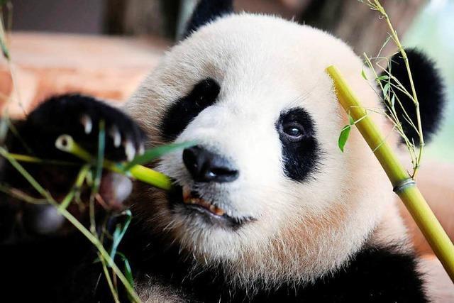 Wieder Pandas in Berlin, Merkel begrüßt
