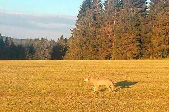 Landwirt sichtet erstmals einen Wolf im Hochschwarzwald