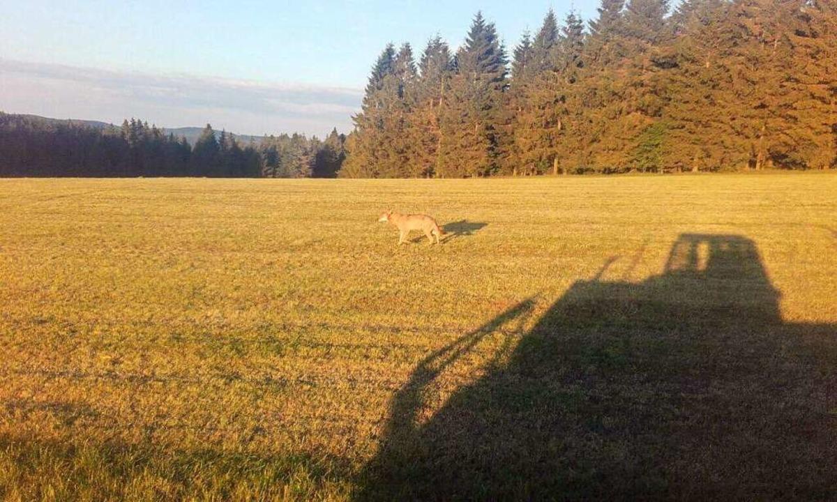 Ein Wolf ist am Fahrenberg in Breitnau gesehen worden.  | Foto: Moritz Schuler
