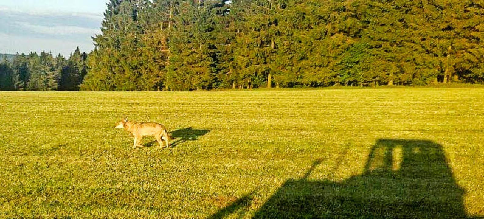 Ein Wolf ist am Fahrenberg in Breitnau gesehen worden.  | Foto: Facebook/Badische Bauernzeitung