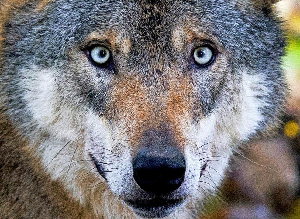 Dieser Wolf hat sein Rudel in Mecklenburg-Vorpommern schon gefunden.   | Foto: dpa