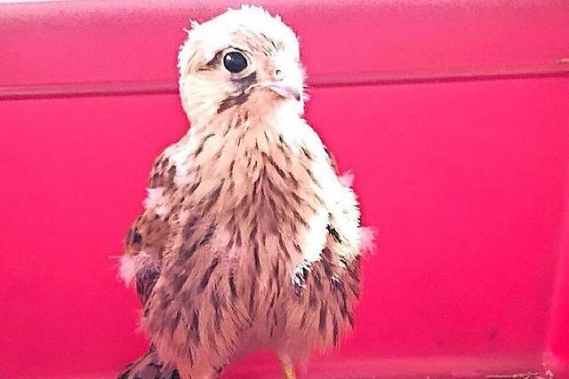 Kleine Falken lernen fliegen – und werden dafür den Münsterturm hochgetragen