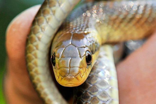 Schlange beißt neue Mieterin nach Wohnungsübernahme