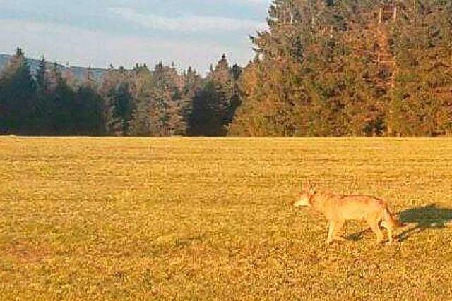 Feuerwehr zieht toten Wolf aus Schluchsee - Verletzungen an Brust
