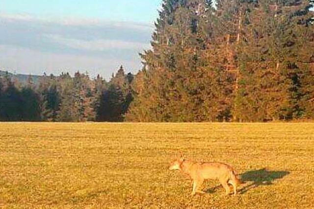 Toter Wolf aus dem Schluchsee wird in Berlin obduziert