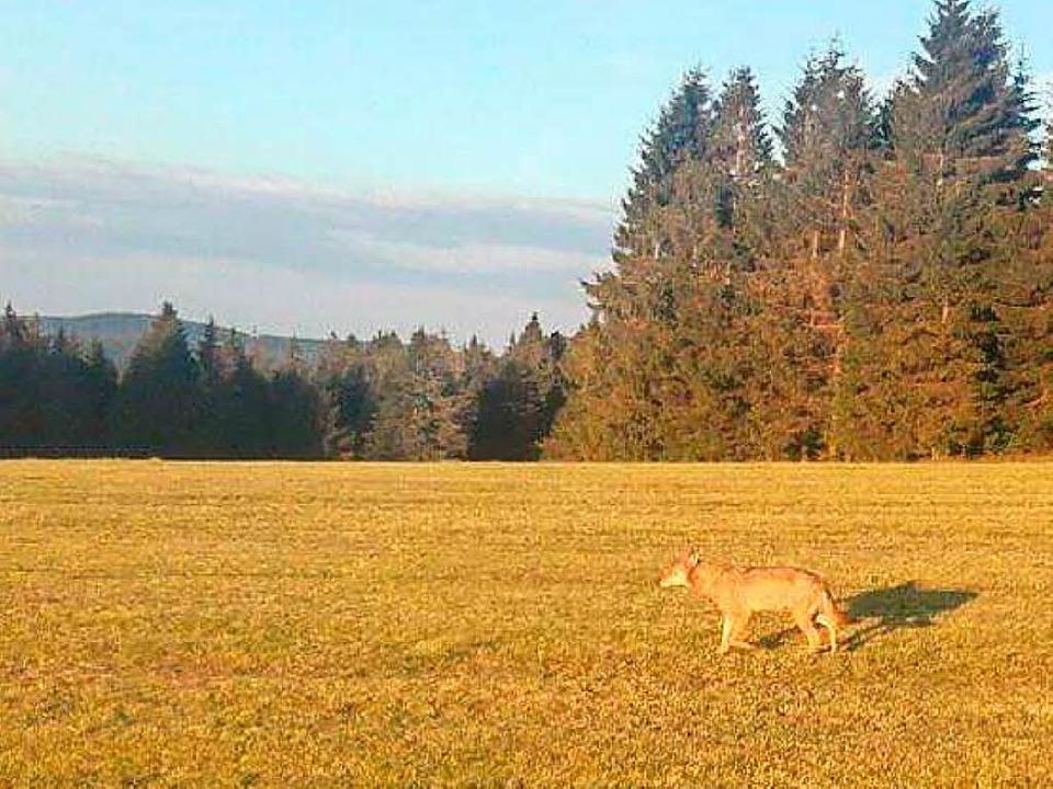 Ein Landwirt hatte den Wolf im Hochschwarzwald gesehen.  | Foto: Moritz Schuler