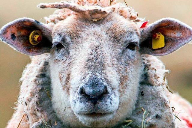30 Schafe stehen in einem Garten in Lörrach-Stetten
