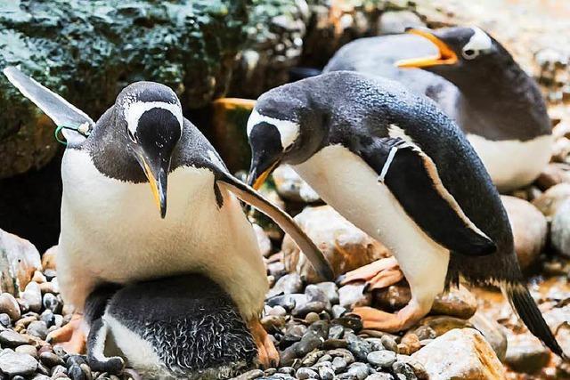 Die Pinguine im Zoo Basel bekommen ein neues Zuhause