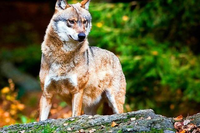 Pathologin erklärt die Obduktion des Schwarzwaldwolfs