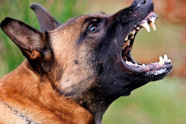 Streunender Hund beißt Hündin im Wald ein Ohr ab