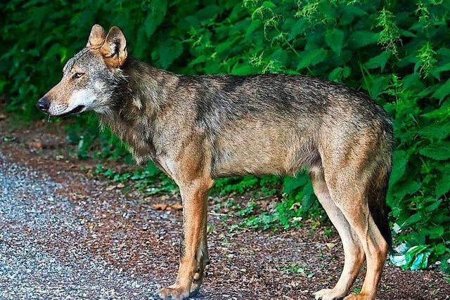 Eine Tierschützerin hat den toten Wolf vor dem Abdecker bewahrt