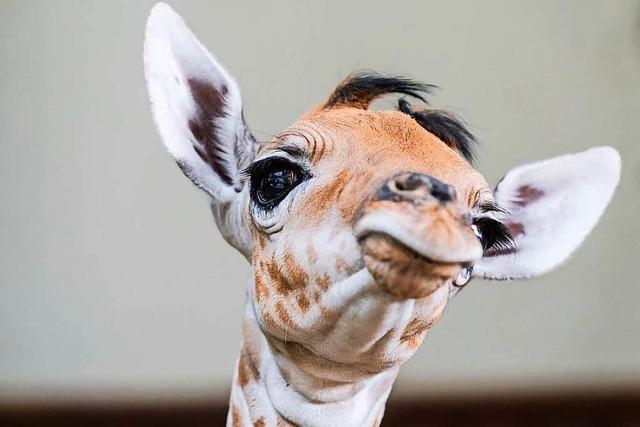 Giraffen-Nachwuchs: Großer Kleiner im Basler Zoo