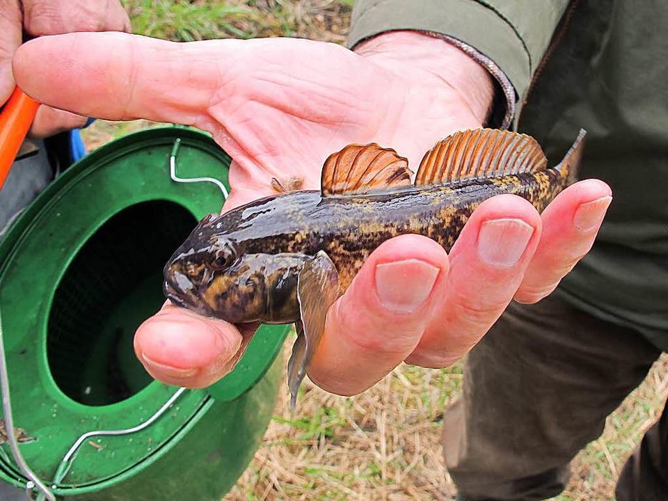 Problemfisch Schwarzmeergrundel  | Foto: Jutta Schütz