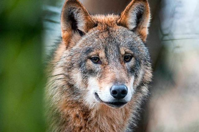 Toter Wolf aus dem Schluchsee stammt aus Niedersachsen