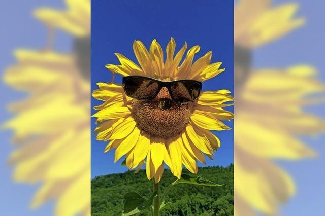 In Herten schützen sich auch die Sonnenblumen vor hellen Strahlen