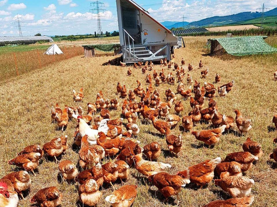 Landschaftsfremd und störend? Sobald s...aufen die Hennen und Hähne ins Freie.   | Foto: Petra Kistler