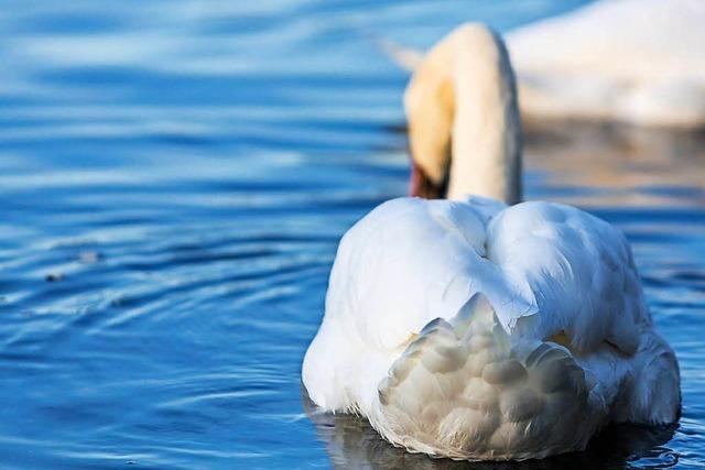 Badeverbot in Kehler Naturbad wegen Verunreinigung durch Vogelkot