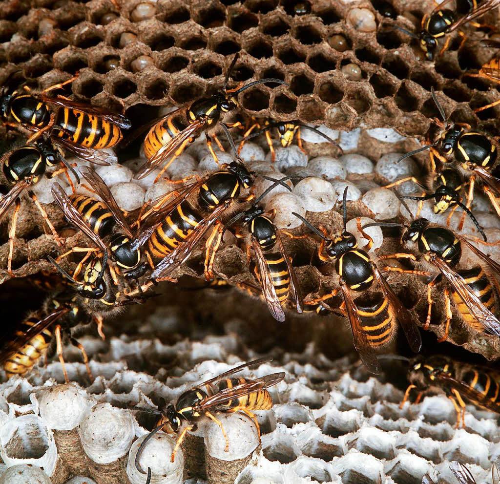 wespennest entfernen lassen wespennest entfernen lassen umsiedeln haus garten dach kosten. Black Bedroom Furniture Sets. Home Design Ideas
