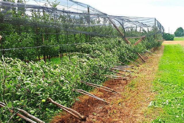 Schäden an Obst und Wein nach Unwetter mit Hagel in der Ortenau