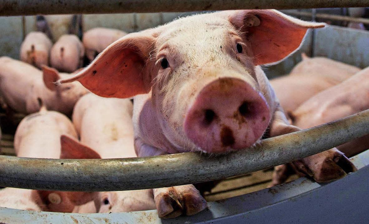 Massentierhaltung ist auch trotz Tiers...etz noch Alltag in den Mastbetrieben.   | Foto: dpa