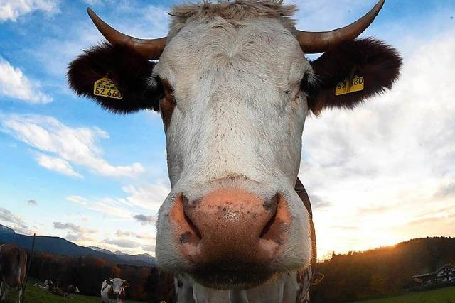 Ausgebüxte Kuh bricht bei Polizeijagd durch Dach und muss erschossen werden