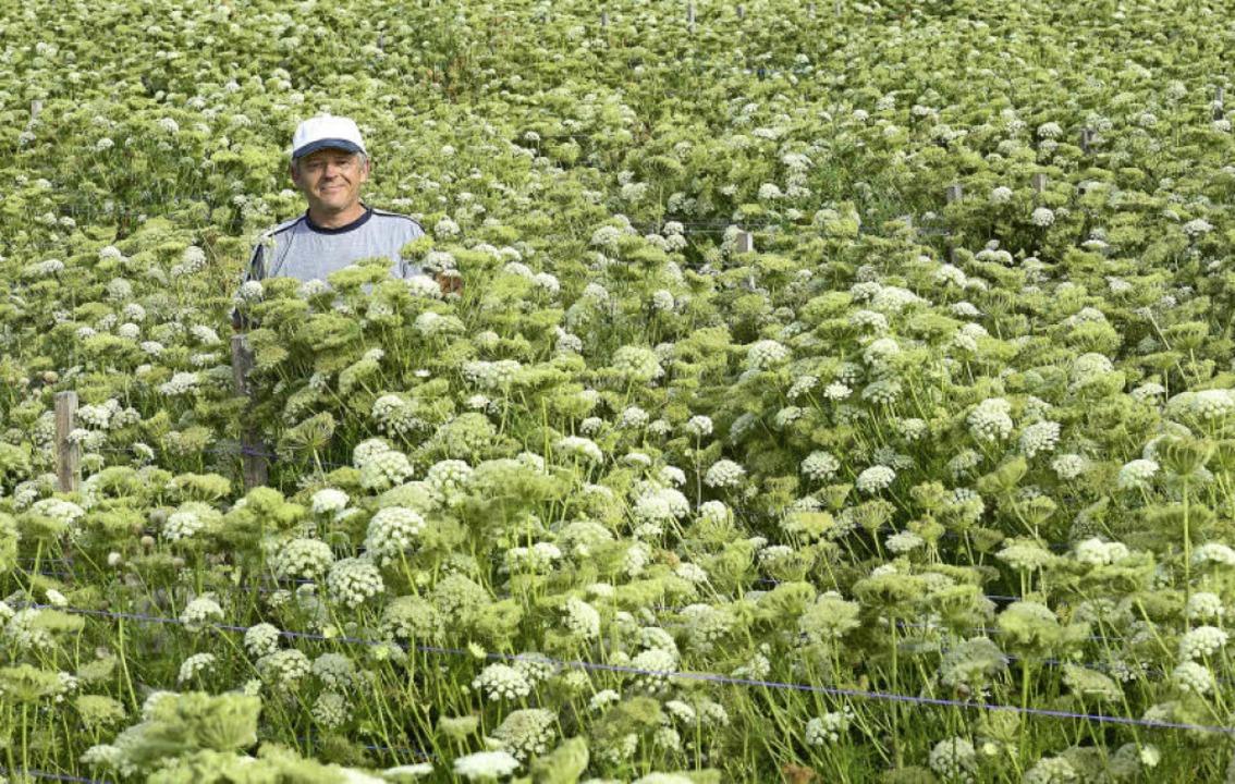 Auf diesem Feld baut Armin Brutscher Pflanzen für Bio-Karottensaatgut an.   | Foto: Ingo Schneider