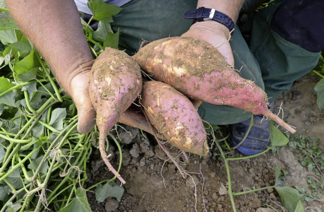 Noch in der Testphase befindet sich der Anbau von Süßkartoffeln.  | Foto: Ingo Schneider