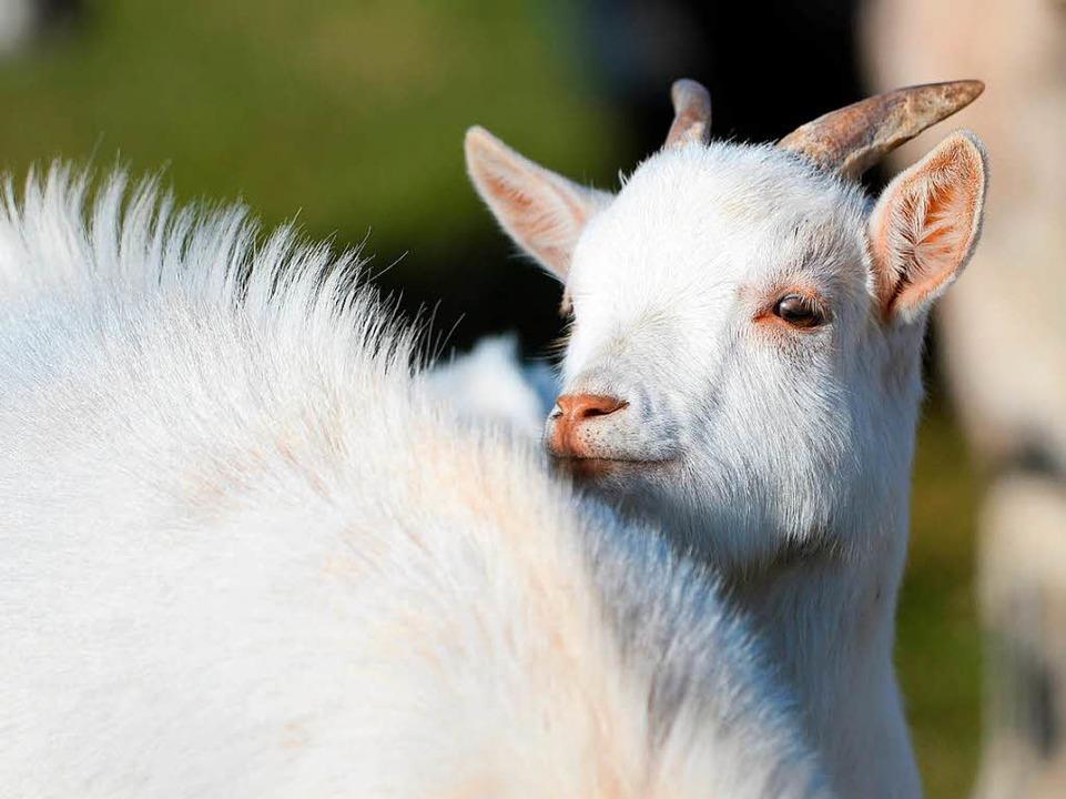 Einst die Kuh der armen Leute, heute e... für Schwarzwaldbauern: die Milchziege  | Foto: dpa