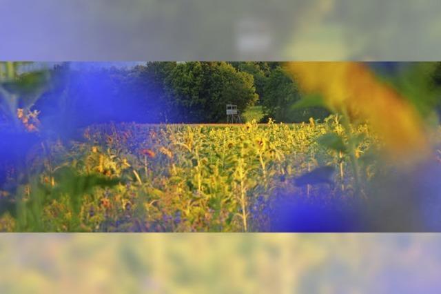 Agrarpolitik sorgt für Sonnenblumenblüte