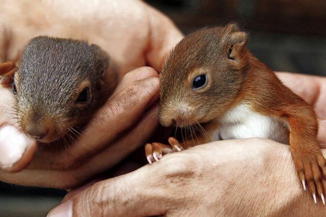 Eichhörnchen haben Zuhause verloren