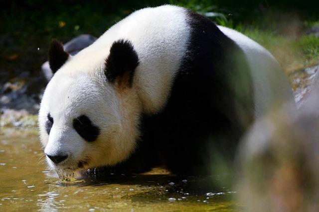 Panda-Baby entzückt Frankreich
