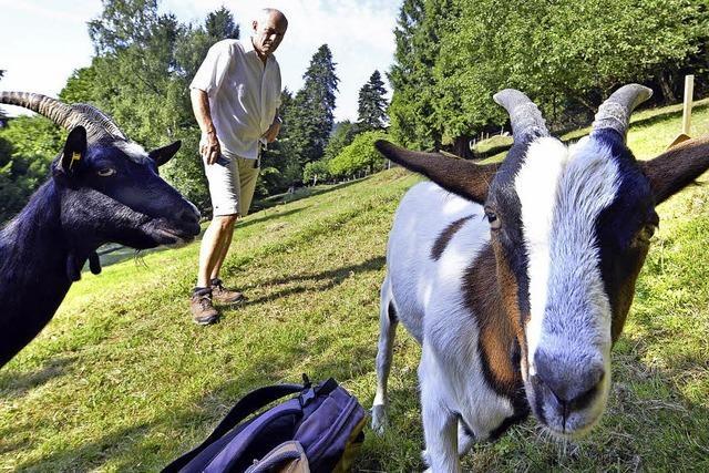 Auf dem Schlossberg weiden fünf Ziegen und drei Schafe