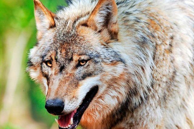 Wolf aus dem Schluchsee wurde erschossen