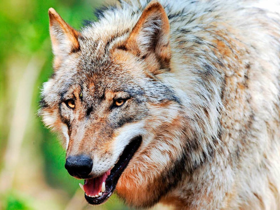 Der Wolf aus dem Schluchsee wurde erschossen  | Foto: dpa