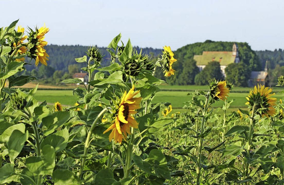 Sonnenblumen und blühende Wiesen erfre...gebene Wallfahrtskirche Witterschnee.     Foto: Ute Kienzler
