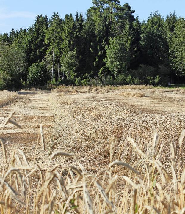 Hagelschäden: Das Getreide, wie hier a... der vergangenen Woche stark gelitten.    Foto: Christa Maier