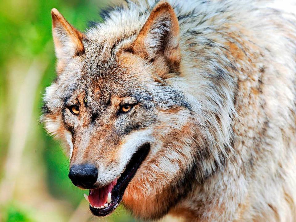 Wegen der Tötung des Wolfs vom Schluch...afanzeige gegen Unbekannt eingereicht.  | Foto: dpa