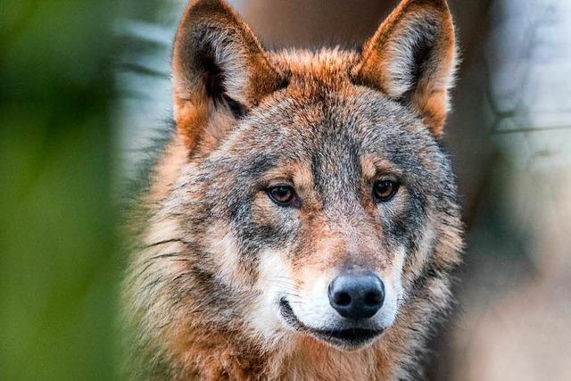 Der Wolf und wir - unser Umgang mit wilden Tieren