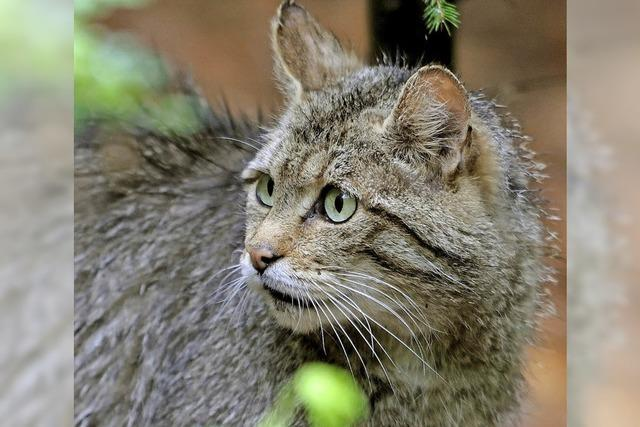 Kleine Wildkatze tot aufgefunden