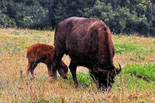 Eine Prärie für die Bisons auf dem Freiburger Mundenhof