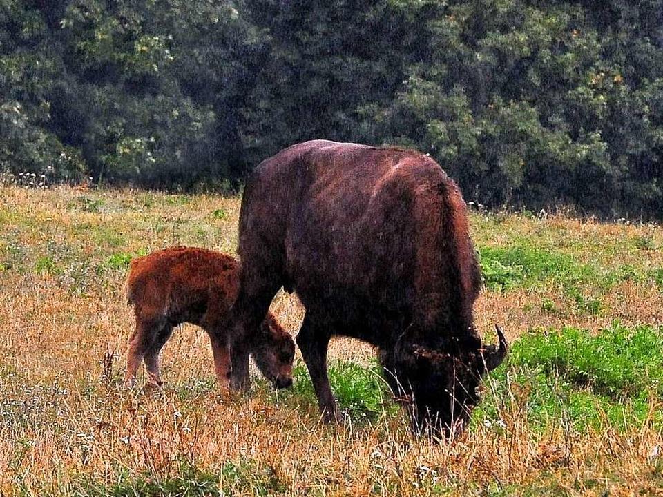 Im nächsten Frühjahr soll es bei den Bisons wieder Nachwuchs geben.   | Foto: Archivfoto: Thomas Kunz
