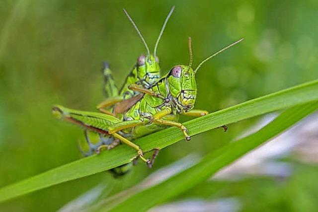 Heimische Heuschrecken erleben