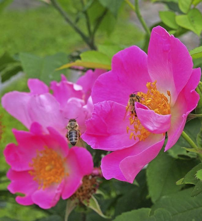 Anflug auf die Blüten einer Kartoffelr...nge Nahrung in Form von Pollen bietet.    Foto: Gabriele Poppen