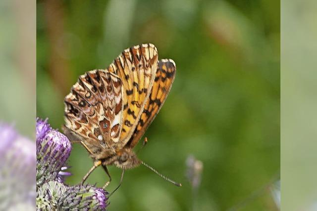 Schmetterlingsexkursion in Lenzkirch