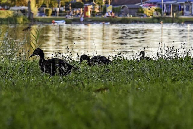 Am Baggersee keine Enten füttern