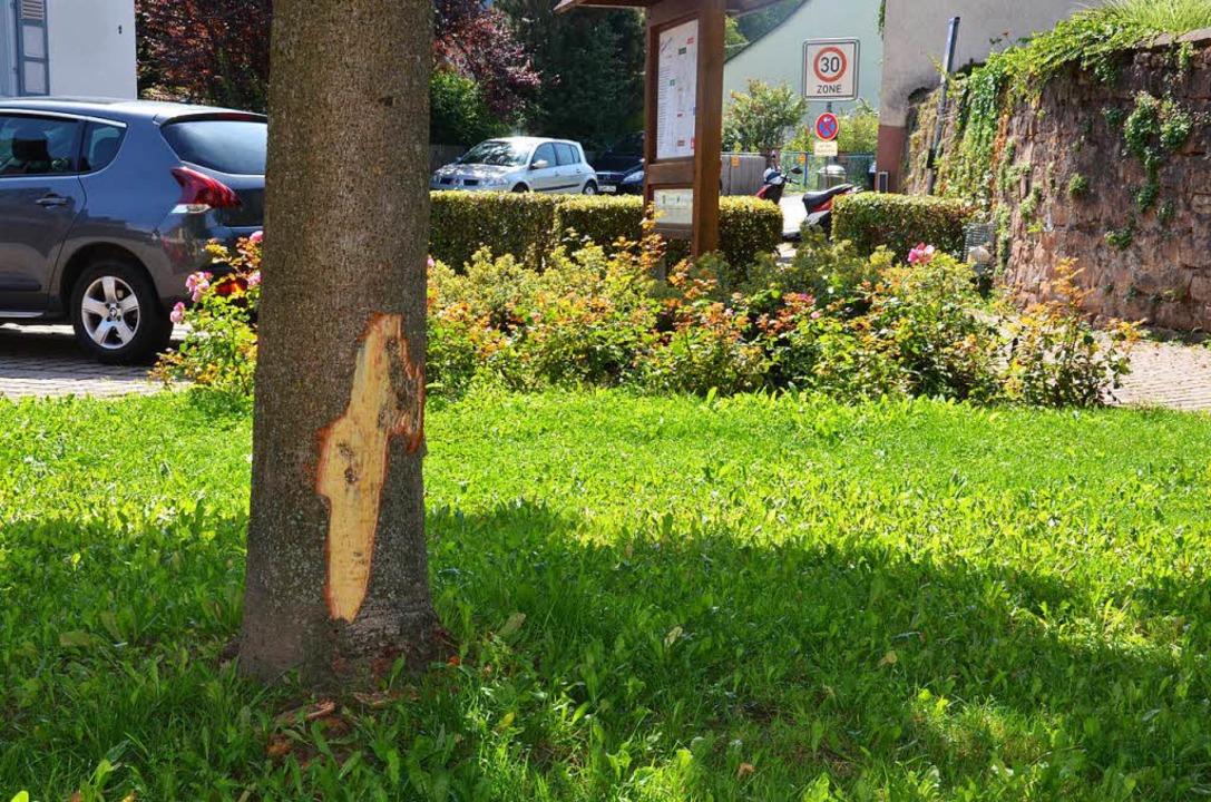 Ein Kastanienbaum auf der Grünfläche v...ten ist vorsätzlich beschädigt worden.    Foto: Karl Kovacs