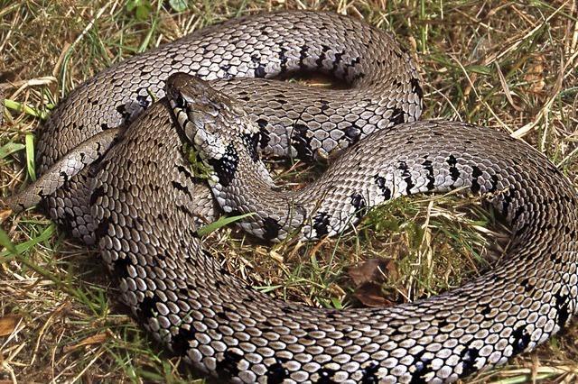 Neue Schlangenart in Deutschland