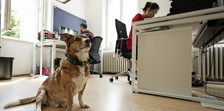 Wachdienst und Inkasso: Jagdhund Linus... für die Tierliebe seiner Mitarbeiter.  | Foto: Patrick von Au