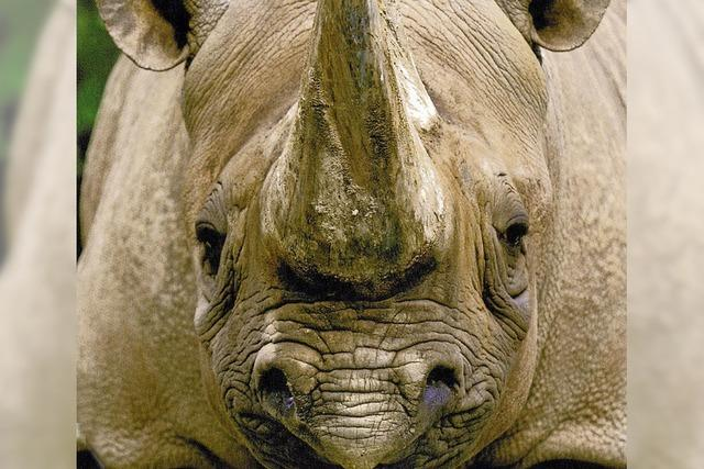 Tierschützer protestieren gegen Nashorn-Horn-Auktion in Südafrika