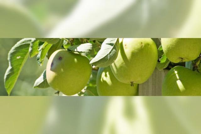 Weniger Äpfel am Bodensee